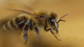Bees in Slowmotion